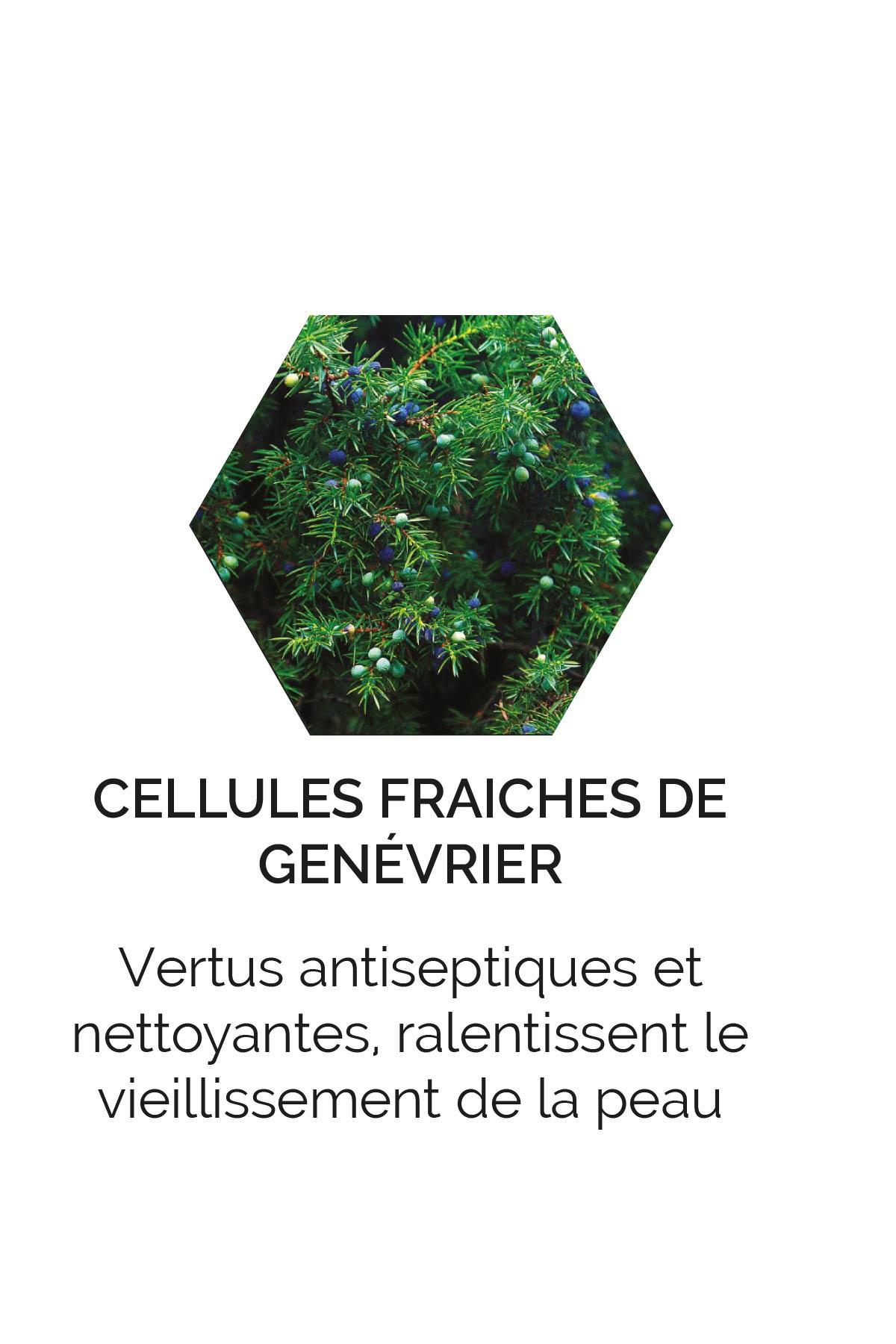 Cellules fraîches de Genévrier