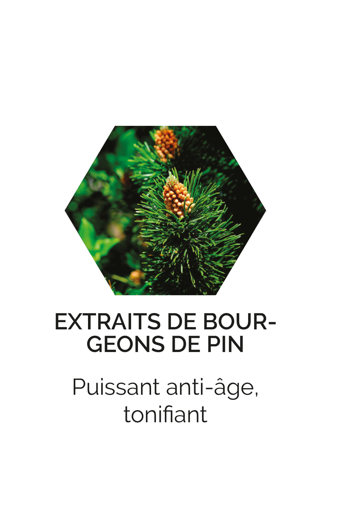 Extraits de bourgeons de pin